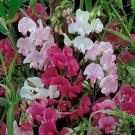 HOBBY, květiny trvalky - Hrachor širokolistý, 6010 (Lathyrus latyfolius)