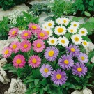 HOBBY, květiny trvalky - Hvězdnice alpská, 6020 (Aster alpinus)