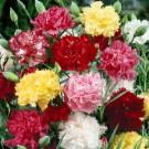 HOBBY, květiny trvalky - Hvozdík karafiát, 6040 (Dianthus caryophyllus)