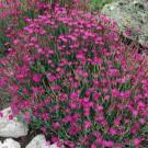 HOBBY, květiny trvalky - Hvozdík slzička, 6050 (Dianthus deltoides)