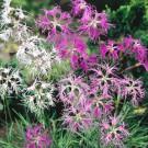 HOBBY, květiny trvalky - Hvozdík pyšný, 6060 (Dianthus superbus L.)