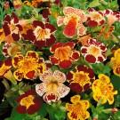 HOBBY, květiny trvalky - Kejklířka, 6070 (Mimulus tigrinus)