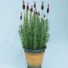 HOBBY, květiny trvalky - Levandule francouzská, 6130 (Lavandula stoechas)