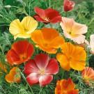 HOBBY, květiny trvalky - Mák nahoprutý, 6160 (Papaver nudicaule L.)