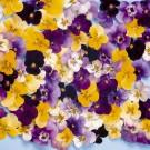 HOBBY, květiny trvalky - Miniviolka, 6180 (Viola cornuta hybridy)