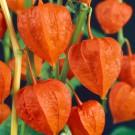 HOBBY, květiny trvalky - Mochyně peruánská, 6190 (Physalis alkekengi)