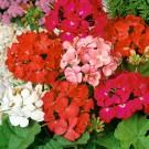 HOBBY, květiny trvalky - Muškát páskatý, 6200 (Pelargonium zonale)