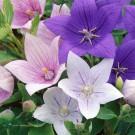 HOBBY, květiny trvalky - Platykodon velkokvětý, 6240 (Platycodon grandiflorus)