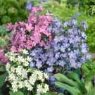 HOBBY, květiny trvalky - Pomněnka, 6250 (Myosotis alpestris)