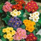 HOBBY, květiny trvalky - Prvosenka jarní, 6280 (Primula veris L.)