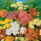 HOBBY, květiny trvalky - Řebříček obecný, 6300 (Achillea milefolium)