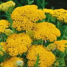 HOBBY, květiny trvalky - Řebříček tužebníkový, 6310 (Achillea filipendulina)