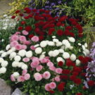 HOBBY, květiny trvalky - Sedmikráska chudobka, 6320 (Bellis perenis)