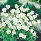 HOBBY, květiny trvalky - Silenka, 6330 (Silene maritima)