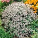 HOBBY, květiny trvalky - Suchobýl tatarský (statice tatarika), 6350 (Goniolimon tataricum)