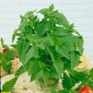 HOBBY, květiny trvalky - Šanta kočičí, 6360 (Nepeta cataria)