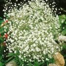 HOBBY, květiny trvalky - Šater latnatý, 6370 (Gypsophila paniculata)