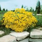 HOBBY, květiny trvalky - Tařice skalní, 6390 (Aurinia saxatilis (syn. Alyssum saxatile))
