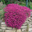 HOBBY, květiny trvalky - Tařička, 6400 (Aubrieta hybrida)