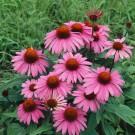 HOBBY, květiny trvalky - Třapatka nachová, 6410 (Echinacea purpurea)