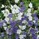 HOBBY, květiny trvalky - Zvonek broskvolistý, 6420 (Campanula parsicifolia)