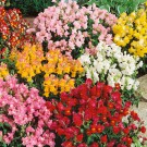 HOBBY, Květiny letničky – Hledík větší Tom Pouce, 9060