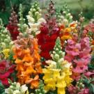 HOBBY, Květiny letničky – Hledík větší Majestic, 9062
