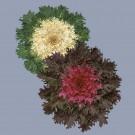 HOBBY, Květiny letničky – Kapusta okrasná Coral F1 Mix, 9084