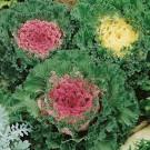 HOBBY, Květiny letničky – Kapusta okrasná směs barev, 9085