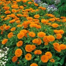 HOBBY, Květiny letničky – Měsíček lékařský oranžový, 9090