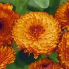 HOBBY, Květiny letničky – Měsíček lékařský Neon, 9092