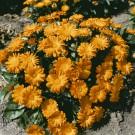 HOBBY, Květiny letničky – Měsíček lékařský Orange Daisy, 9093