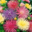 HOBBY, Květiny letničky – Astra čínská Electric směs, 9100