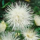HOBBY, Květiny letničky – Astra čínská Electric bílá, 9103