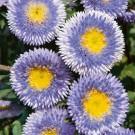 HOBBY, Květiny letničky – Astra čínská Blue Moon, 9105
