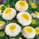 HOBBY, Květiny letničky – Astra čínská Pompon White and Yellow, 9106