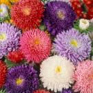 HOBBY, Květiny letničky – Astra čínská Super Princess směs, 9107