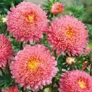 HOBBY, Květiny letničky – Astra čínská Super Princess růžová, 9109