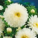 HOBBY, Květiny letničky – Astra čínská Super Princess bílá, 9110