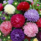 HOBBY, Květiny letničky – Astra čínská American Beauty směs, 9112