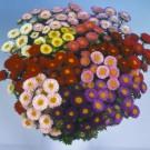 HOBBY, Květiny letničky – Astra čínská Matsumoto směs, 9114