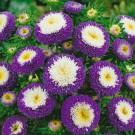 HOBBY, Květiny letničky – Astra čínská Pompon Blue and White, 9115