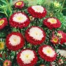 HOBBY, Květiny letničky – Astra čínská Pompon Red and White, 9116