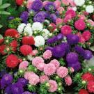 HOBBY, Květiny letničky – Astra čínská Colour Carpet směs, 9117