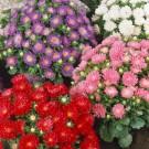 HOBBY, Květiny letničky – Astra čínská Průhonický trpaslík směs, 9118