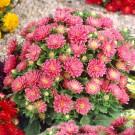 HOBBY, Květiny letničky – Astra čínská Průhonický trpaslík růžový, 9120