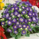 HOBBY, Květiny letničky – Astra čínská Průhonický trpaslík modrý, 9122