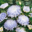 HOBBY, Květiny letničky – Astra čínská Duchesse Silvery Blue, 9131