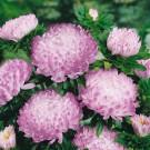 HOBBY, Květiny letničky – Astra čínská Duchesse Silvery Rose, 9132