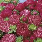 HOBBY, Květiny letničky – Astra čínská Red Ribbon, 9133